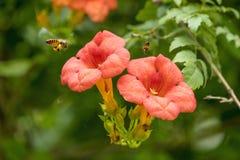 Latającej Miodowej pszczoły zbieracki pollen od pomarańczowych Campsis radicans kwitnie Zdjęcie Royalty Free