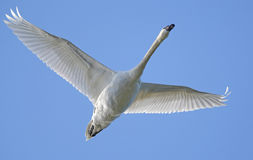 latający łabędź Obrazy Royalty Free