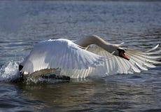latający łabędzia. Obrazy Royalty Free