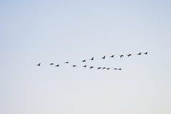 latający łabędzia. Zdjęcie Royalty Free