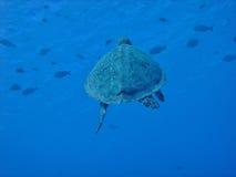 latający żółw Zdjęcia Royalty Free