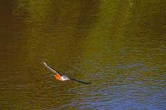 Latający żeński Upierścieniony zimorodek, Megaceryle Torquata, ampuła i hałaśliwie zimorodka ptak, Pantanal, Brazylia, Ameryka Po obrazy royalty free