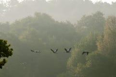 Latający żurawie Fotografia Stock