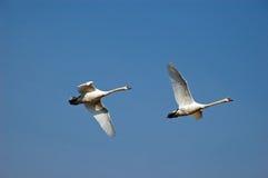latający 2 łabędzia. Zdjęcie Royalty Free