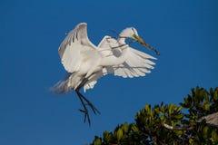 Latający biały egret Zdjęcia Royalty Free