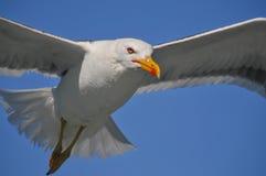 Latający biały seagull Obrazy Stock