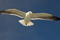 Latający biały seagull Fotografia Stock