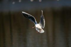 Latający biały seagull ptak zdjęcia royalty free