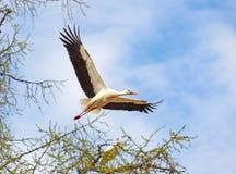 latający bocian Obraz Royalty Free