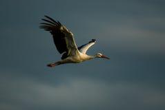 latający bocian Zdjęcia Royalty Free