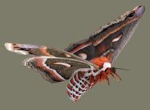 latający cecropia ćma Zdjęcie Royalty Free