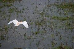 Latający czapli ptak w ryżowym polu Obrazy Stock