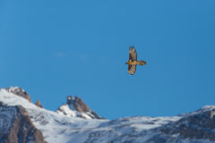 Latający dorosły brodatego sępa Gypaetus barbatus z górami, Obrazy Stock