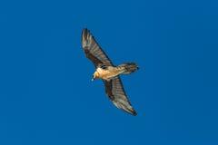 Latający dorosły brodatego sępa Gypaetus barbatus z niebieskim niebem Zdjęcia Royalty Free