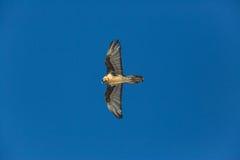 Latający dorosły brodatego sępa Gypaetus barbatus z niebieskim niebem Obrazy Royalty Free