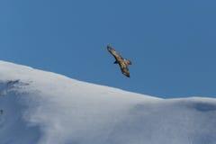 Latający dorosły brodatego sępa Gypaetus barbatus z niebieskim niebem Fotografia Royalty Free