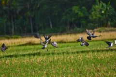 Latający dzicy gołębie zdjęcie royalty free