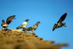 Latający gołębie fotografia stock