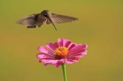 latający hummingbird nad różowego gardła uby cyniami Obraz Stock