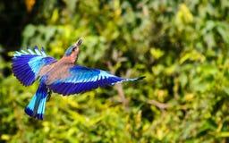 Latający Indiański rolownik z skrzydłami wystawiającymi Obraz Stock