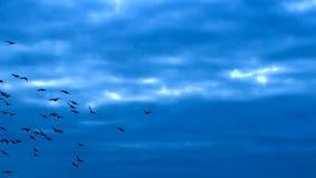 LATAJĄCY kierdel ptaki Folował HD zbiory wideo