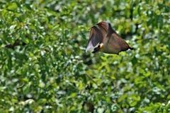 Latający lisy na zielonym tle w afrykańskim natury siedlisku Zdjęcia Royalty Free