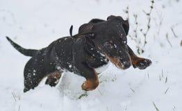 Latający mały pies Zdjęcie Stock