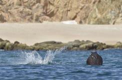 Latający Mobula Ray zdjęcie royalty free