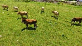 Latający nad zieleni polem z pastwiskowymi krowami, hodowla i uprawiać ziemię biznes zbiory