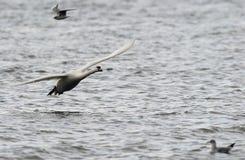 latający niemy łabędź Obraz Royalty Free