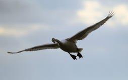 latający niemy łabędź Obrazy Royalty Free