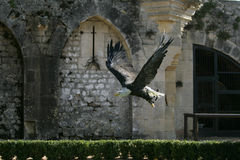 latający orzeł Zdjęcie Royalty Free