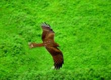 latający orzeł Zdjęcia Royalty Free