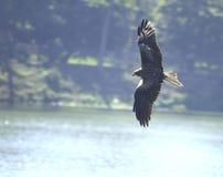 latający orzeł Fotografia Stock