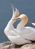 Latający północny gannet Fotografia Stock