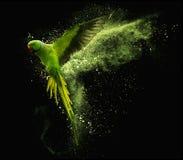 Latający papuzi aleksandrynu parakeet z barwionymi prochowymi chmurami Na czarnym tle obraz royalty free