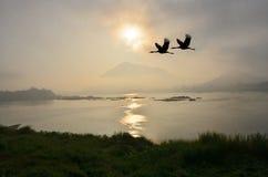 Latający para żurawie nad rzeką w ranku fotografia royalty free