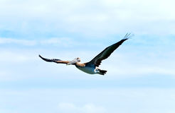 latający pelikan fotografia stock