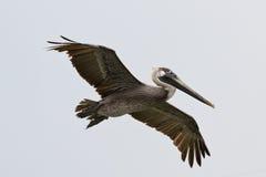 Latający pelikan obrazy stock
