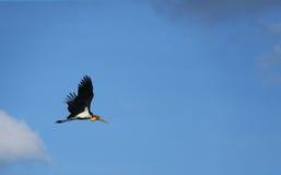 latający piękny czapli ptak Obraz Stock