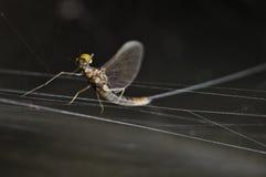 Latający pluskwa insekt na przeciwstawiać się spiderweb zdjęcie stock