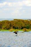 Latający ptak Kenja Afryka) - Jeziorny Naivasha (- Zdjęcie Stock