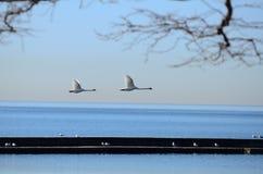 Latający ptak na Jeziornym Ontario, brać w Toronto Zdjęcia Royalty Free