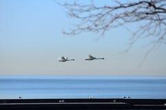 Latający ptak na Jeziornym Ontario, brać w Toronto Zdjęcie Stock