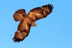 Latający ptak zdobycz Ptak w niebieskim niebie z otwartymi skrzydłami Akci scena od natury Ptak zdobycza Pospolity myszołów, Bute Obraz Stock