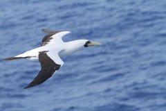 Latający Seabird fotografia stock