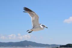 Latający seagul fotografia stock
