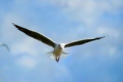 latający seagull Zdjęcia Stock