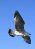 latający seagull Zdjęcie Royalty Free