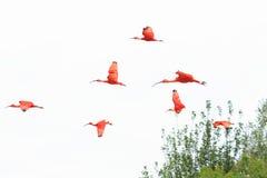 Latający szkarłatni ibisy Obrazy Royalty Free